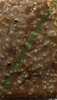 DUT PESTİLİ YER FISTIKLI (500 gr) resmi
